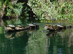 bakers dozen (saltlifebeach5443) Tags: river turtles sunbathing water landscape logs wooded trees green animal inrows motion current reptiles amphibious riverbank flowers plants bakersdozen reflections