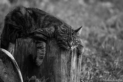 Sur le billot ! - Head on the block ! (Nicolas Rouffiac) Tags: cat cats chat chats pet animal animals animaux bw nb monochrome funny fun position strange étrange