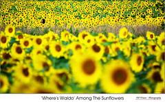 'Where's Waldo' Among The Sunflowers (jwvraets) Tags: flamborough hamilton bogleseedsfarm sunflowers flowers woman yellow blooms where'swaldo pano panorama opensource rawtherapee gimp nikon d7100 afpdxnikkor70300f4563