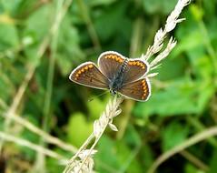 Brown Argus Aricia agestis (ERIK THE CAT Struggling to keep up) Tags: brownargus aricia agestis lepidoptera shredicote staffordshire butterflies ngc npc