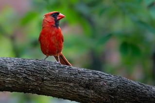 Cardinal rouge   Dans ma cour   Montréal