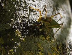 Saddleback Cricket (better with bikes) Tags: cricket insect ephiggerephigger saddleback saddlebackcricket florac cevenne europe france