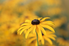 sunny day (christophe.laigle) Tags: christophelaigle fleur macro sunny nature flower fuji parcdelaroseraie nantes yellow xpro2 xf60mm jaune rudbeckia