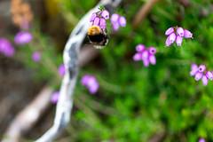 Bee on Heather (acdunhill) Tags: bamford england unitedkingdom gb