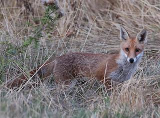 Red Fox Vulpes vulpes 009-1