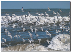 Sanderlings in flight (Betty Vlasiu) Tags: sanderlings flight sanderling calidris alba bird nature wildlife chincoteague island