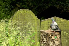 A Resting Place (TERRY KEARNEY) Tags: stjamesscemeteryliverpool cemetery arestingplace pigeon bird animal headstone tree architecture canoneos1dmarkiv daylight day explore europe england fields kearney landscape liverpool city cityscape liverpoolcitycentre merseyside nature oneterry outdoor terrykearney urban wildlife 2018