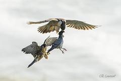The Hand Off (CR Courson) Tags: crcourson chuckcourson peregrinefalcon falcon falcons birds birdphotography birdsinflight birdsofprey nikon naturephotography nature fe2