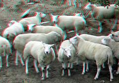 Schapen Oss 3D (wim hoppenbrouwers) Tags: anaglyph stereo redcyan schapen oss 3d sheep