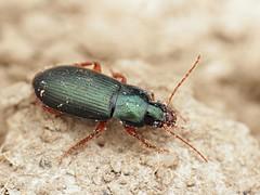 Ophonus sp. (Radim Gabriš) Tags: coleoptera adephaga carabidae harpalini ophonus groundbeetle beetle insect macro