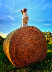 King Rupert of the Bale (Missy Jussy) Tags: kingrupert heybale bluesky clouds trees grass flowers meadow field farmland farming france labrugere southcentralfrance holiday trip rupert rupertbear englishspringer springerspaniel spaniel mansbestfriend malespringerspaniel 5d canon5dmarkll canon5d canoneos5dmarkii canon outdoor outside naturallight countryside rural ef24mmf28