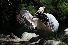 """""""... danke, dass Ihr so zahlreich erschienen seid ..."""" (mux68-uh) Tags: zoo tierpark hellabrunn tierparkhellabrunn münchen munich pelikan"""