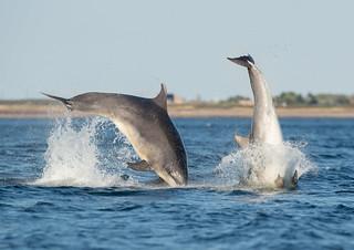 Bottlenose Dolphins (Explored 13/8/18)
