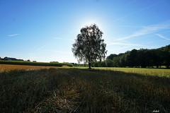 SUNDAY EARLY......... (Fimeli) Tags: landscape landschaft nature natur tree baum birke schatten himmel sky bluesky sonne beautifulday