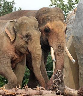 asiatic elephant Nicolai and Thong Tai artis JN6A0513