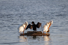 IMG_1232 (d_propp) Tags: lakebeaumaris waterfowl august goldenhour light lightroomcc pelican cormorant