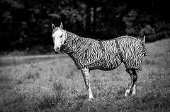 Was bin ich? (maik_sen) Tags: horse pferd zebra black white blackwhite tiere tier animal portrait