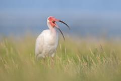 Operatic Ibis (PeterBrannon) Tags: beach bird eudocimusalbus florida fortdesoto ibis nature wadingbird whitebird whiteibis wildlife