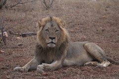 Je suis sur mon territoire ! (domiguichard) Tags: roi lion