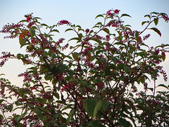 A Flowering Tree. (dccradio) Tags: lumberton nc northcarolina robesoncounty outdoor outside outdoors nature natural evening august friday summer summertime sky eveningsky flower flowers flowering foliage tree bush branch branches treelimb treelimbs leaf leaves floral floweringtree floweringbush
