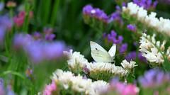 On a white throne (John (Thank you for >2 million views)) Tags: uniflona smileonsaturday butterfly statice flowers flora whitecabbagebutterfly arlingtonmanor nationaltrust devon