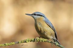Picchio muratore (mauro.santucci) Tags: picchiomuratore sittaeuropaea sittidae passeriforme uccelli uccello bird avifauna natura birdwatching wildlife wild