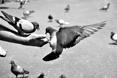 Lunch time (jaume zamorano) Tags: blackandwhite blancoynegro blackwhite blackandwhitephotography blackandwhitephoto bw barcelona catalunya d5500 monochrome monocromo nikon noiretblanc nikonistas pov street streetphotography streetphoto streetphotoblackandwhite streetphotograph urban urbana dove