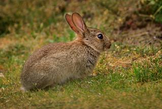 Kit, baby Rabbit.