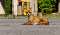 Simon Pripyat Fox (Sarah Marston) Tags: fox ukraine chernobyl pripyat radioactive sony ilce6300 august 2018 phonebox towerblock abandoned urbex urbanexploration abandonedplaces