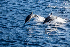 Spinner Dolphins – Stenella Longirostris 3166 (Ursula in Aus - Travelling) Tags: jimclinephototour milnebay png papuanewguinea tawali