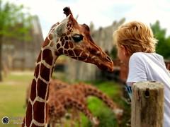 Blijdorp Zoo in Rotterdam the Netherlands (PvdW fotografie) Tags: canon kids blijdorp zoo dierentuin diergaardeblijdorp dier giraffe animal