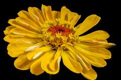 Zinnia flower (Guido Speekenbrink) Tags: nature yellow zinnia color black background