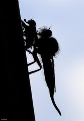 Knockin On Heavens Door (Lisa Zins) Tags: tamron silhouette kill prey tennessee tn lisazins tennesseerobberfly flies nature outdoors hexapoda summer 2018 beekiller predator sixlegs asilidae promachus hinei arthropoda insecta diptera assassinfly assassin fly robberfly robber tennesseeinsects south insect bug tamronmacrolens macro songtitle gunsnroses knockinonheavensdoor inexplore explored