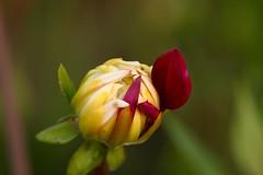 Mistaken identity (AngharadW) Tags: dahlia petal macro angharadw bokeh dof bud flower