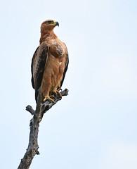 Tawney Eagle (Aubrey Stoll) Tags: tawney eagle kruger sky africa south bird predator raptor beak feathers branch tree claws