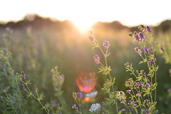 (Leela Channer) Tags: nature plants flowers purple light meadow field sunset flare evening goldenhour aveyron summer france