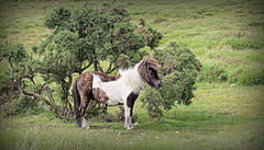 Dartmoor Pony2 (yorkiemimi) Tags: animal pony horse dartmoor uk england tree nature natur pferd tier