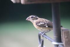 55/365/3707 (August 5, 2018) - Rose-Breasted Grosbeak (Female & Male) in the Backyard - August 2018 (Saline Michigan) (cseeman) Tags: birds saline michigan rosebreastedgrosbeaks grosbeaks backyard birdfeeder grosbeak082018 2018project365coreys yearelevenproject365coreys project365 p365cs082018 356project2018 365toadd