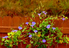 Morning Glory (austexican718) Tags: flower vine garden centraltexas hillcountry backyard canon