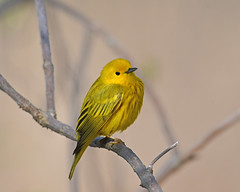 Yellow Warbler (Digital Plume Hunter) Tags: