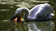 Fishing (carlo612001) Tags: pelican pellicano uccelli birds natura nature hganimalsonly animali animals shooting