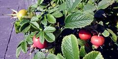 Rose hips (billnbenj) Tags: barrow cumbria rose rosehip hip haw