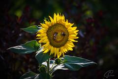 Smiling Sunflower (Bluespete) Tags: hummel lachend lächeln natur pflanze smiley sonnenblume summer sunflower ultrataglte20deen umwelt smiling geocountry exif:focallength=300mm exif:aperture=ƒ56 exif:model=nikond750 camera:make=nikon exif:make=nikon exif:lens=tamronsp70300mmf456divcusda005n camera:model=nikond750 geostate geocity geolocation exif:isospeed=220
