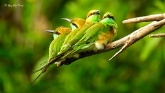 Birds of a Feather! (Raj the Tora) Tags: meropsorientalis merops orientalis beeeater eater bee bird passerine birds birdsofafeather greenbeeeater nature wild wildlife ave aves avian avians