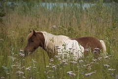 Le poney des marais * (Titole) Tags: grasses wildflowers titole nicolefaton equine poney friendlychallenges