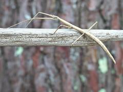 Phasme sp. (Zygonyx) Tags: casio exilim ex100f silkypix biscarrosse landes atlantique