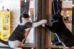 javacatscafe12Aug20180171.jpg (fredstrobel) Tags: javacafecats javacatscafe pets atlanta animals usa cats places ga georgia unitedstates us