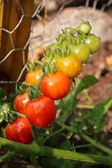 Colours of the Rainbow, Tomato Style (Aaron Licht) Tags: sl2 vancouverisland victoria food garden rainbow series summer tomato