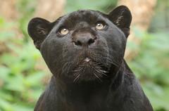 Jaguar Artis JN6A1009 (j.a.kok) Tags: jaguar zwartejaguar blackjaguar kat cat animal artis zoogdier zuidamerika southamerica mammal predator pantheraonca neron leya leia