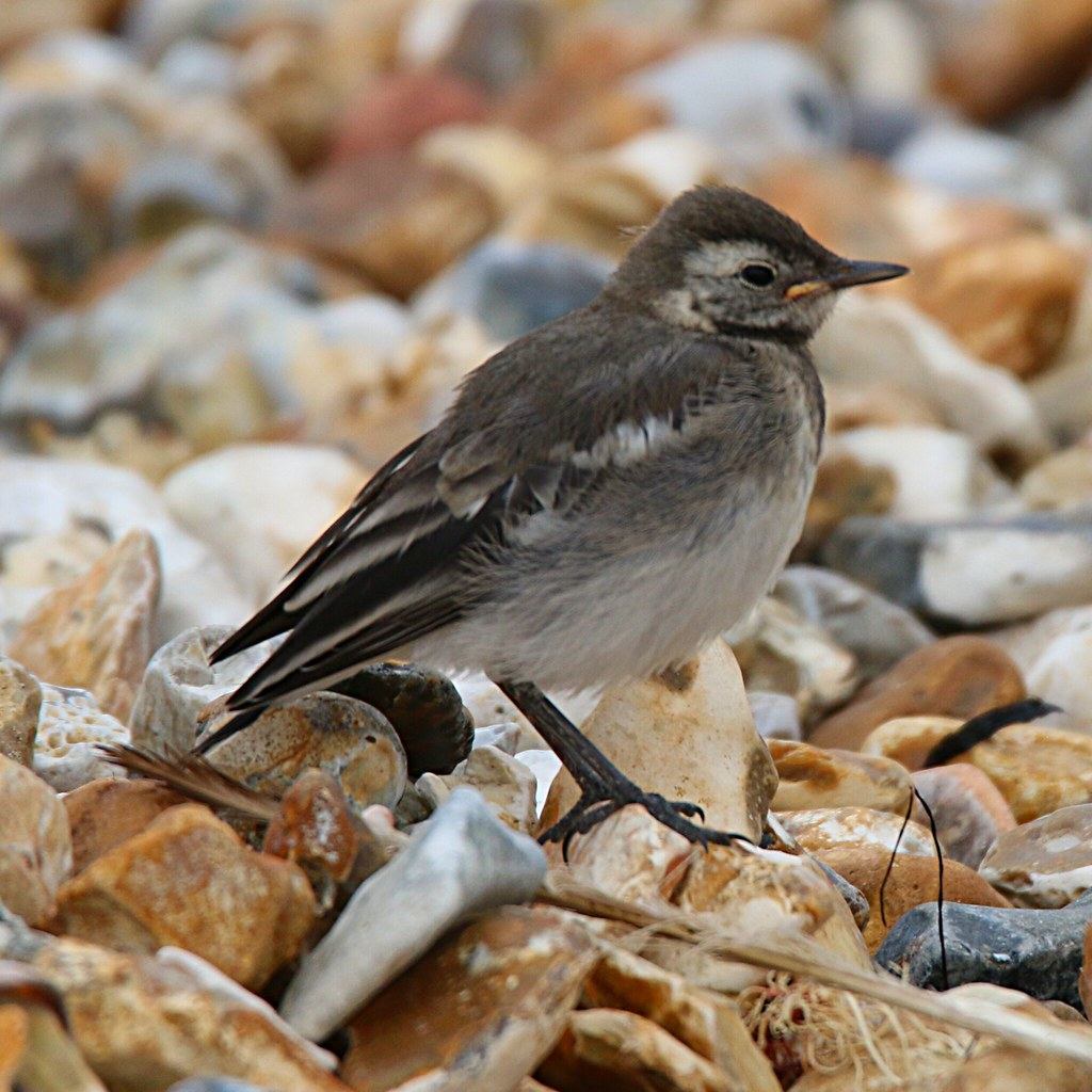 juvenile pied wagtail on the beach at stokes bay